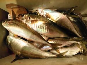 釣果アジ30~43cm